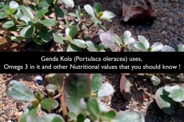 Genda Kola (Portulaca oleracea) uses, Omega 3 and other Nutritional values that you should know!