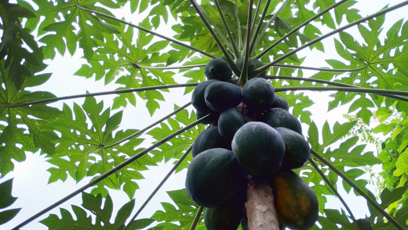 Health Benefits Of Papaya and How You Can Grow Them at Home in Sri Lanka